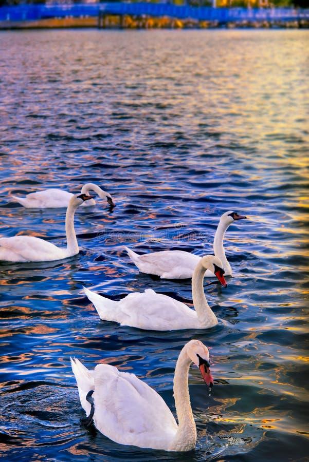 Лебеди на море стоковая фотография