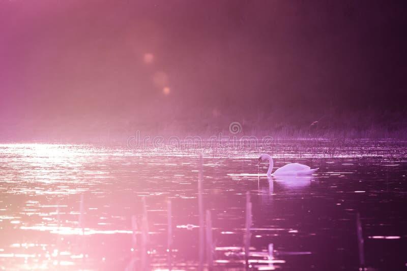 Лебеди на озере в фиолетовом свете захода солнца стоковое фото rf