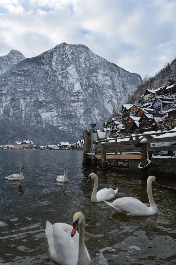 Лебеди на озере Hallstatt разветвляет зима взгляда вала снежка ели стоковая фотография