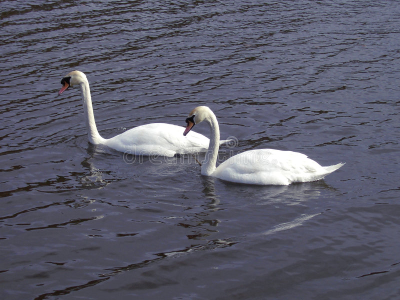 лебеди пар Стоковая Фотография RF