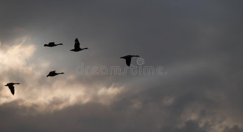 лебеди стоковое фото rf