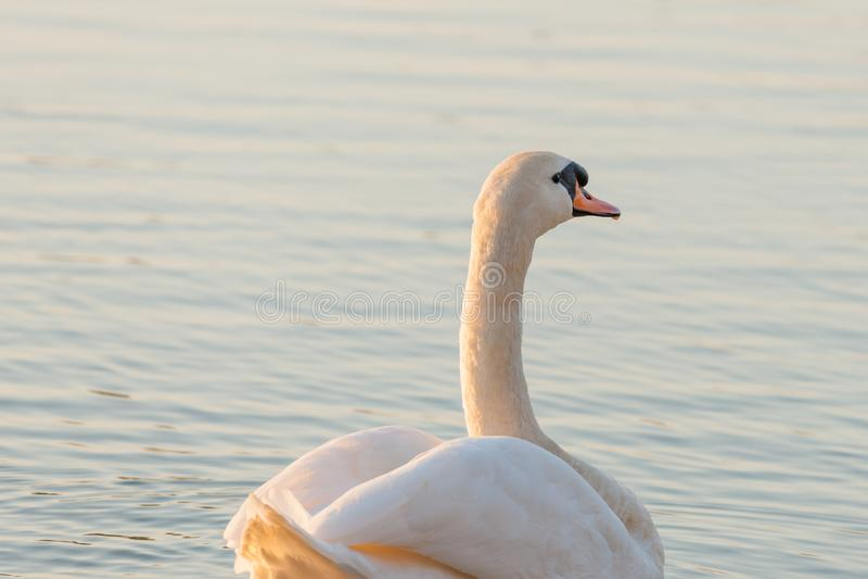 Лебедь берегом озера на заходе солнца стоковые изображения rf