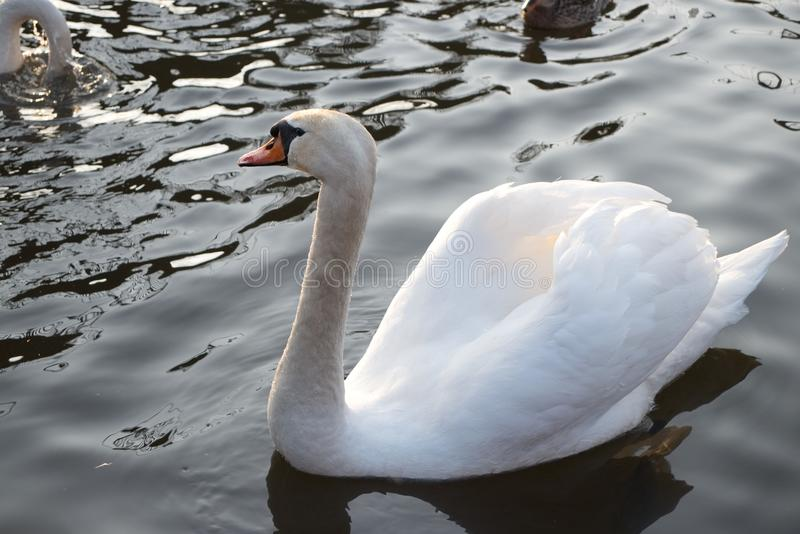 Лебедь близкий вверх на волнах стоковые изображения
