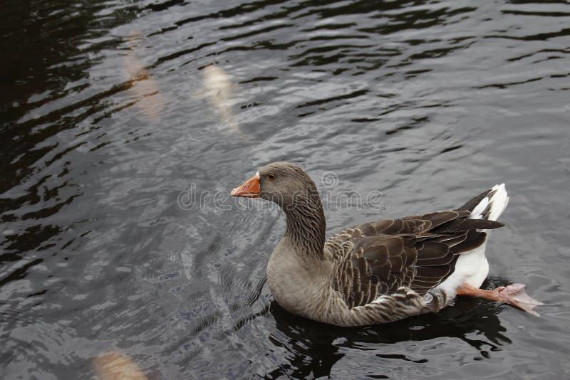 Лебедь Брайна стоковые фото