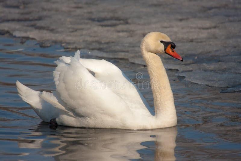 Лебедь весной стоковое фото