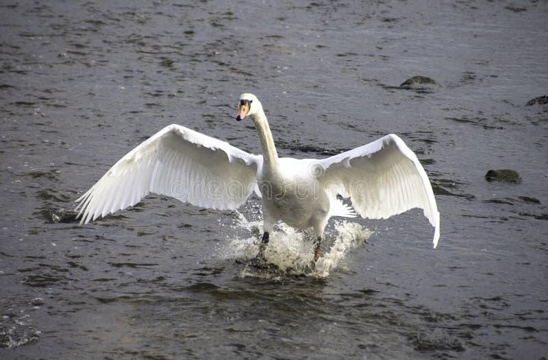 Лебедь в воде на Keyhaven Хемпшире, Великобритании стоковые изображения rf