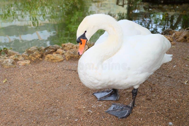 Лебедь в зверинце стоковое фото