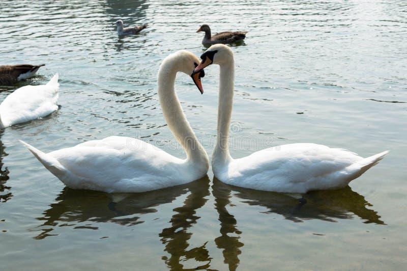 Лебедь в Лондоне - Гайд-парке стоковая фотография