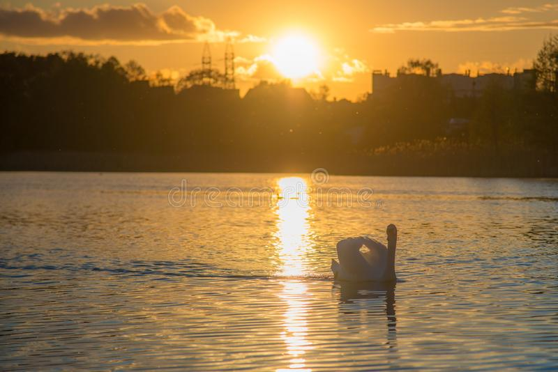 Лебедь в озере захода солнца стоковая фотография rf