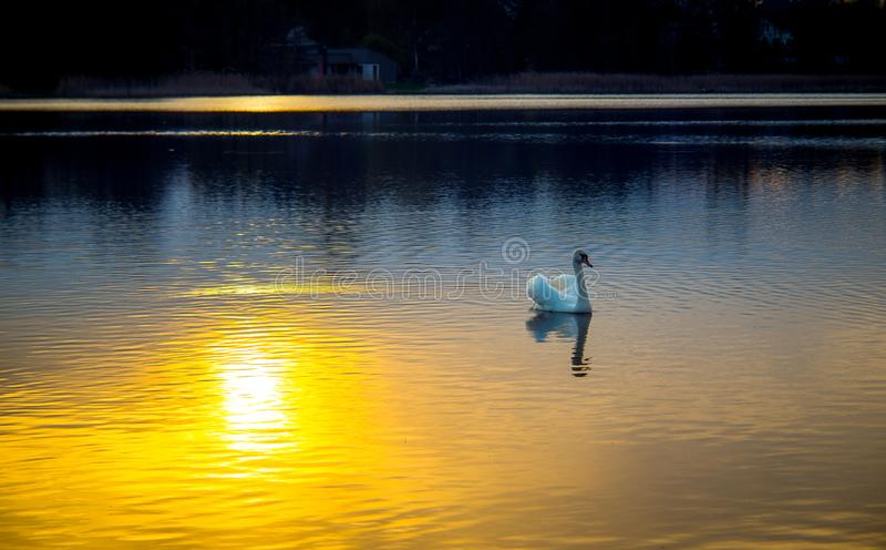 Лебедь в озере на заходе солнца стоковая фотография rf
