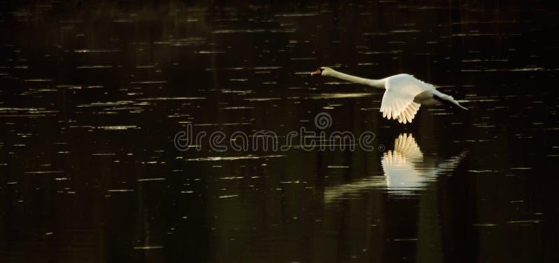 Лебедь в полете во время захода солнца стоковые фотографии rf