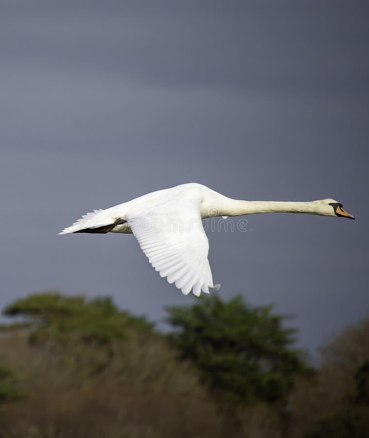 Лебедь в полете против темной предпосылки неба стоковое изображение