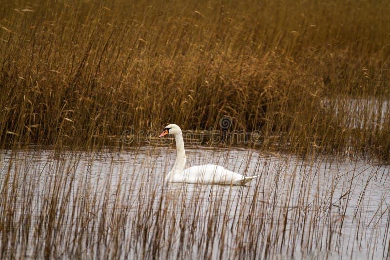 Лебедь в тростниках стоковое фото