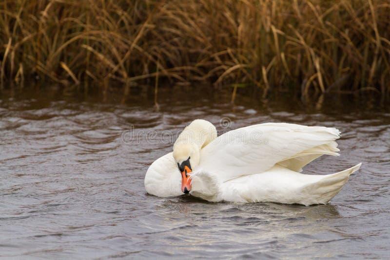 Лебедь в тростниках стоковое изображение