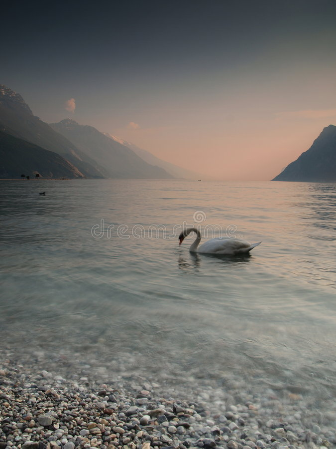 лебедь захода солнца озера стоковое фото rf