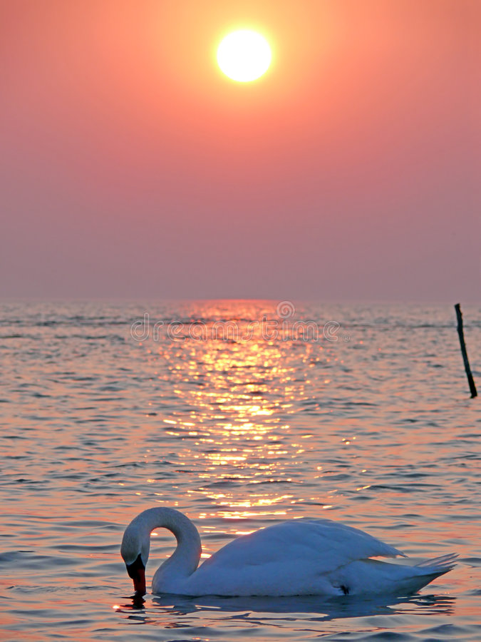 лебедь захода солнца стоковые фото