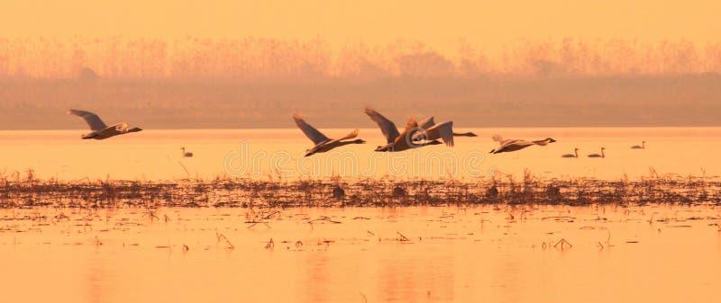 лебедь захода солнца стоковое фото
