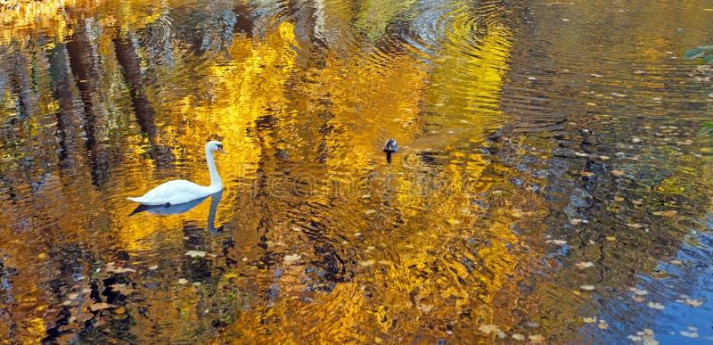 Лебедь и утка плавая в воду пруда в парке с желтыми листьями осени и красивом отражении деревьев стоковые фото