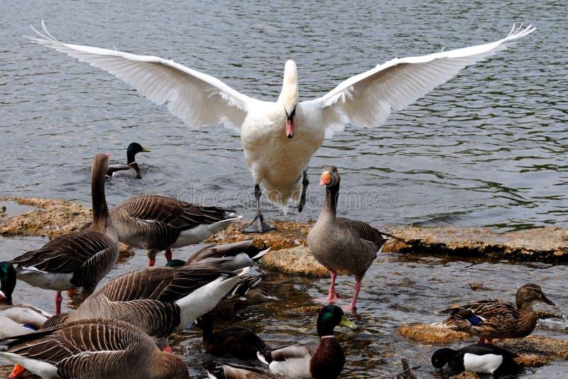 лебедь командира стоковое изображение rf