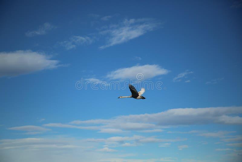 Лебедь летая в небе стоковые изображения
