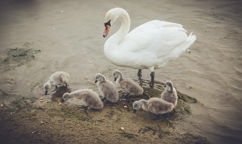 Лебедь матери с ее младенцами стоковые изображения rf