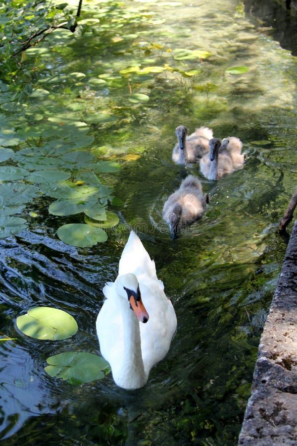 лебедь мати младенцев стоковые фотографии rf