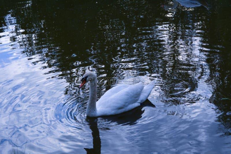 Лебедь на воде стоковые фото
