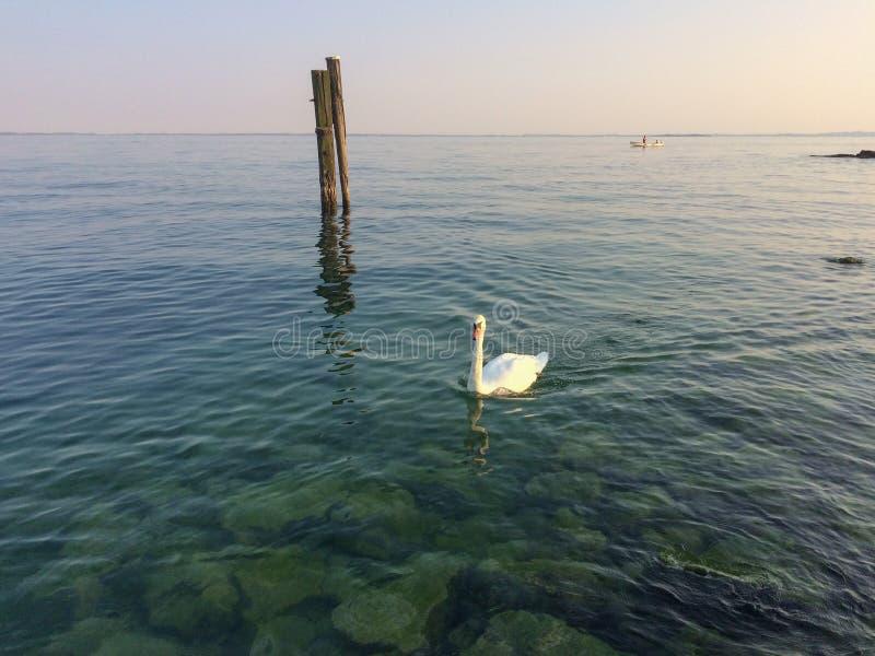 Лебедь на озере Garda, Италии стоковое фото rf