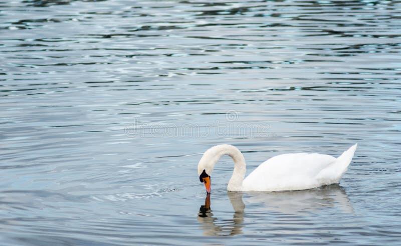 Лебедь на охоте стоковая фотография rf