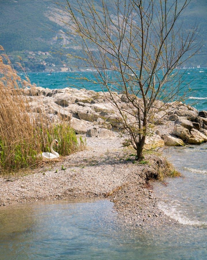 Лебедь на скалистых берегах озера Garda, Италии стоковые изображения