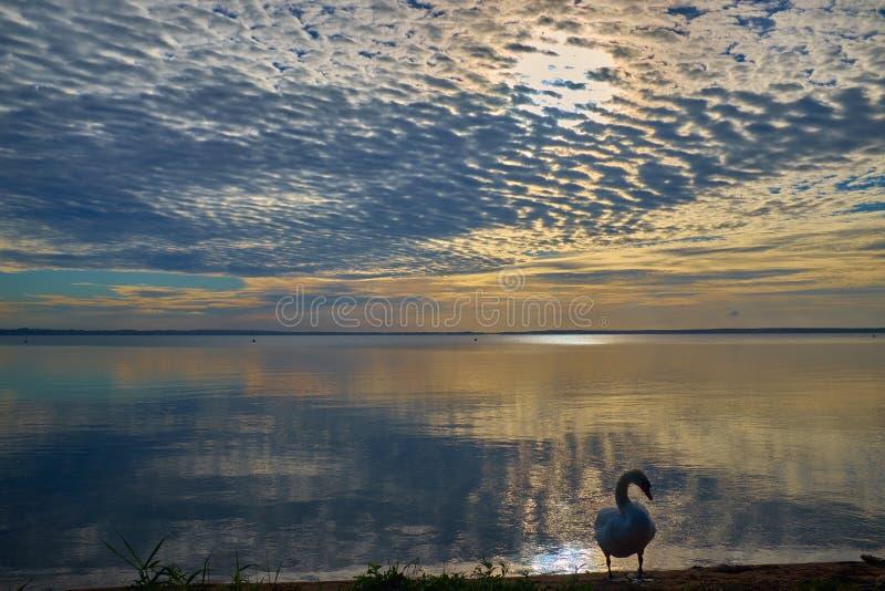 Лебедь около озера во время красочного захода солнца стоковые изображения