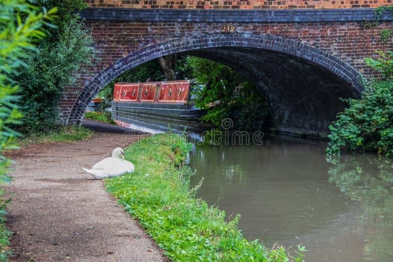 Лебедь отдыхая около канала около Оксфорда Великобритании с мостом сдобренным утесом и причаленной шлюпкой за ей - restful винтаж стоковое фото
