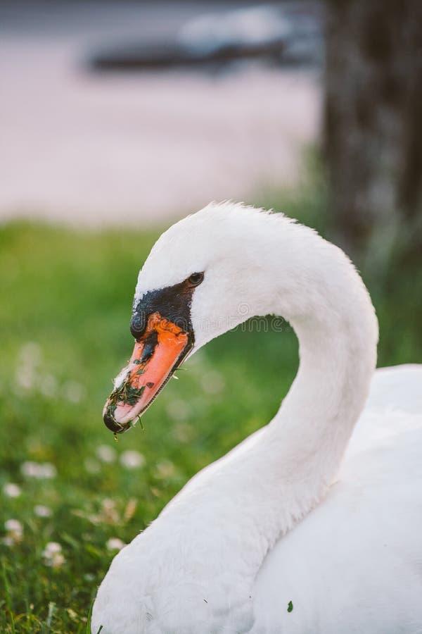 Лебедь представляя в конце профиля вверх стоковые фотографии rf