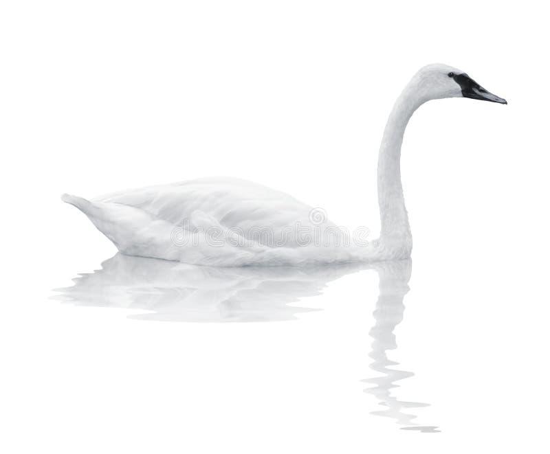 лебедь птицы стоковое изображение rf