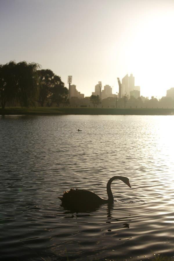 лебедь реки стоковая фотография rf