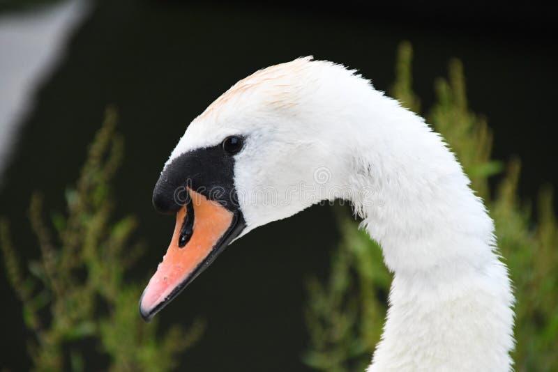 Лебедь рекой Темзой стоковое фото rf