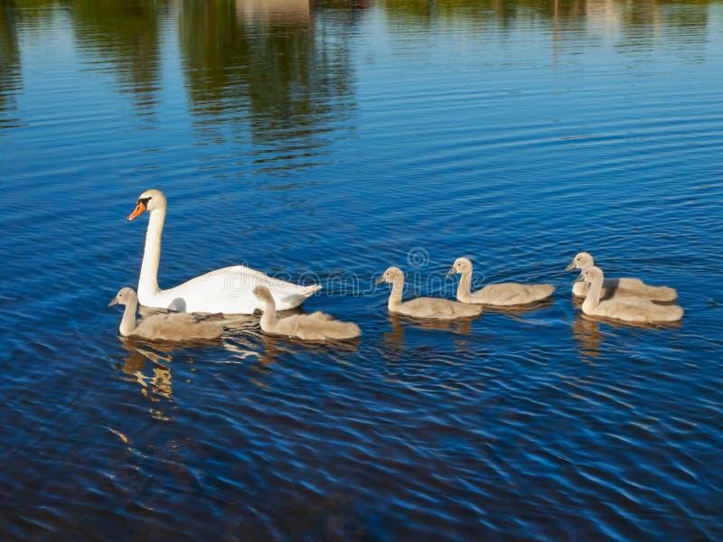 лебедь семьи стоковые изображения