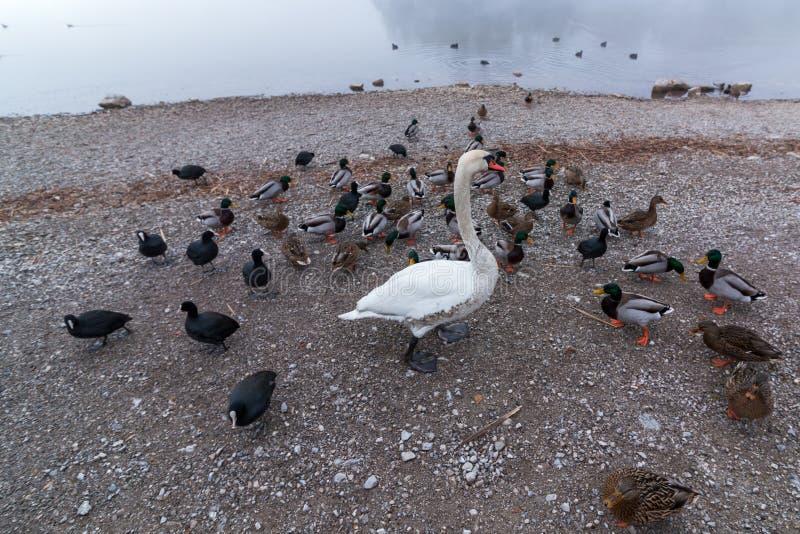 Лебедь среди уток стоковые изображения