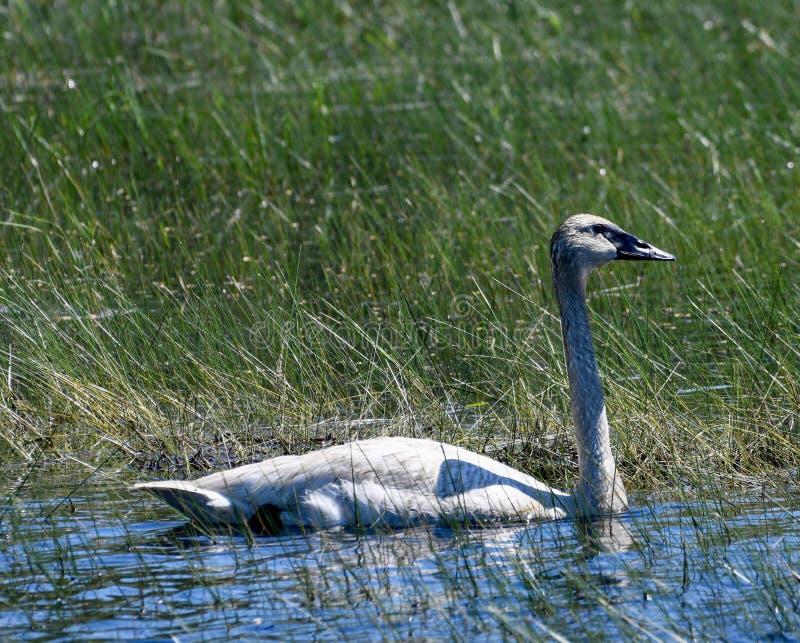 Лебедь трубача в болоте стоковое изображение rf