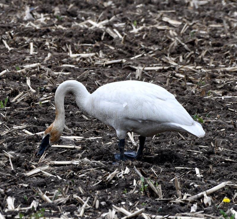 Лебедь трубача в грязном поле фермы #3 стоковое фото rf