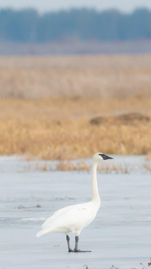 Лебедь трубача на красивая солнечная весна/последний зимний день - принятые в зону живой природы лугов Crex в северном Висконсине стоковая фотография