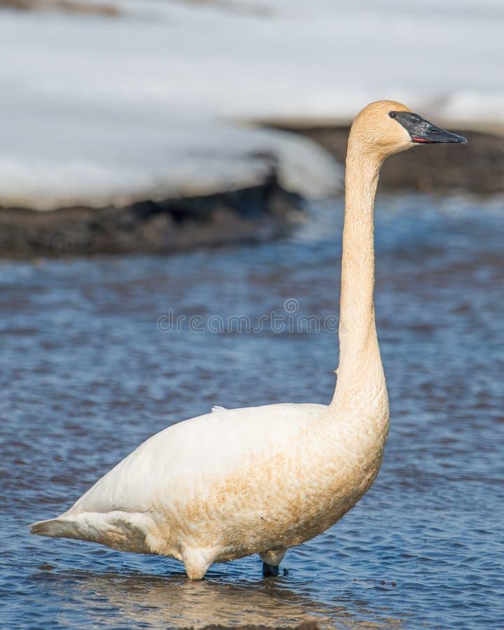 Лебедь трубача на красивая солнечная весна/последний зимний день - принятые в зону живой природы лугов Crex в северном Висконсине стоковые изображения
