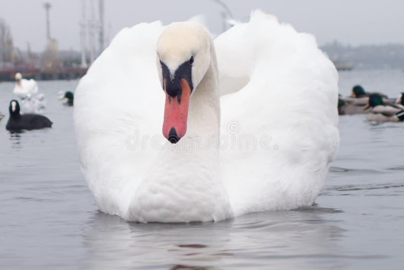 Лебедь, утка, чайки и лыс-простофили Лебеди, утки и чайки в водах морского порта на пасмурный зимний день стоковые фото