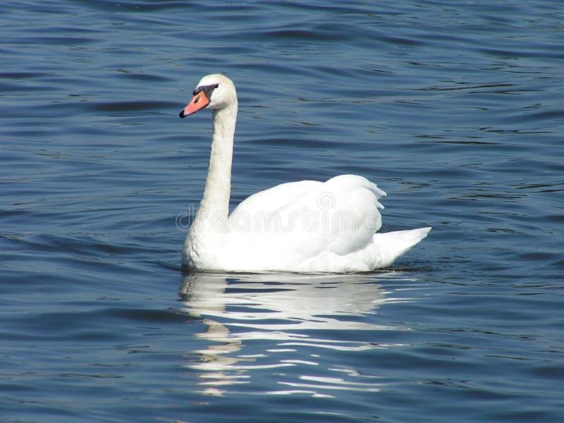 Лебедь Бесплатное Стоковое Изображение