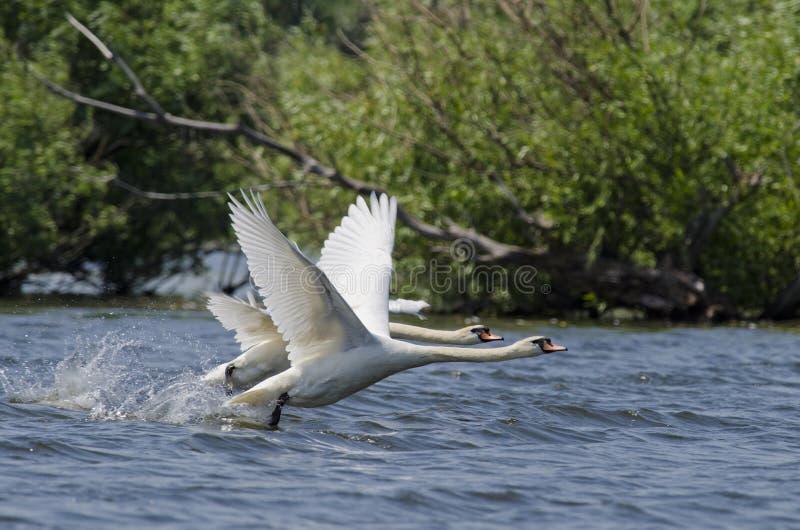 Лебедь (Cygnus Olor) стоковые фотографии rf