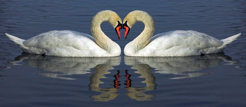 лебедь hert стоковая фотография