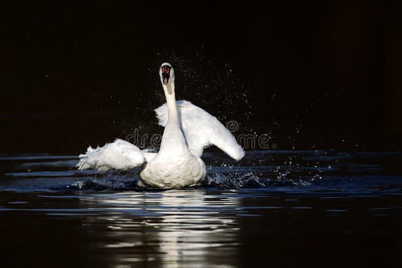 лебедь olor cygnus безгласный стоковое изображение
