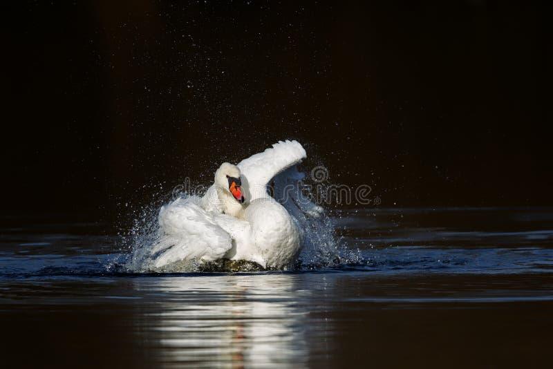 лебедь olor cygnus безгласный стоковые фото
