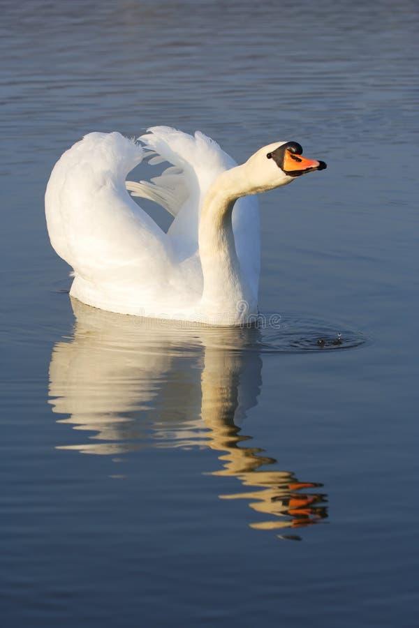 лебедь olor cygnus безгласный стоковые фотографии rf