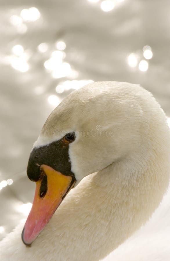 лебедь olor cygnus безгласный стоковое изображение rf